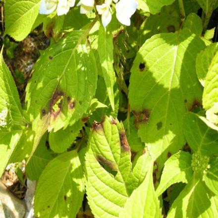 Blattflecken Hortensien