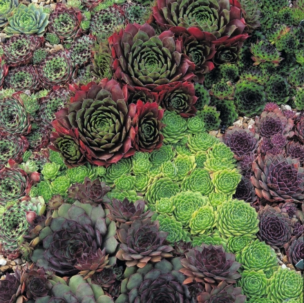 Sempervivums_mixed_(1)