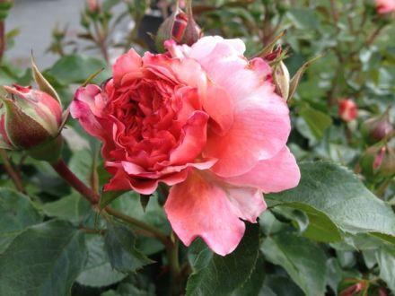 Rosen Blütenthrips