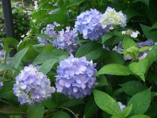 Hydrangea_mac._Endless_Summer