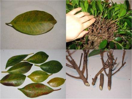 Ficus_Benjaminii