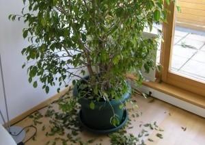 Blattverlust_Ficus