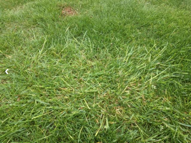 Ungräser im Rasen