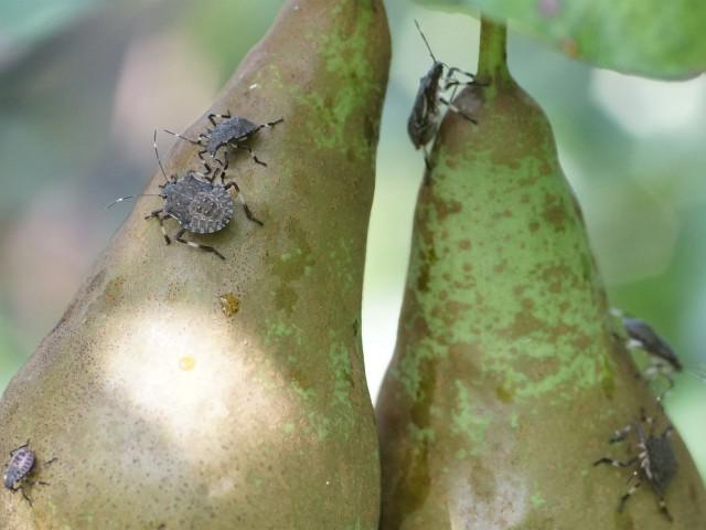 Marmorierte Baumwanze (Halyomorpha halys, umgangssprachlich auch Stinkkäfer)