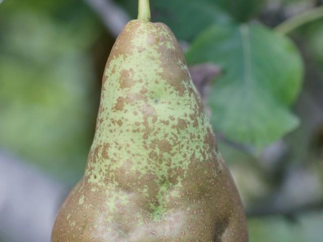 Steinigkeit der Birne