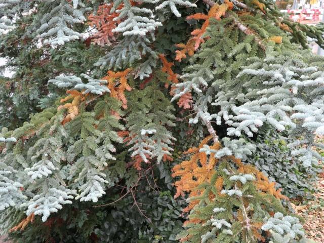 braune Nadeln im Winter
