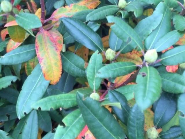 Rhododendron, Dickmaulrüssler