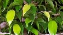 Ficus_k