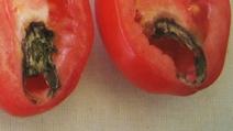 Tomaten_faul_k
