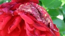 Rose_k