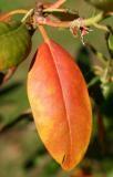 Rhododendronblatt