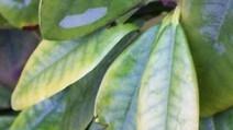 Rhododendronblatt_2