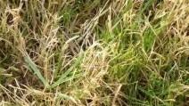 brauner Rasen1
