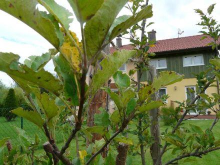 Apfelbaum_1