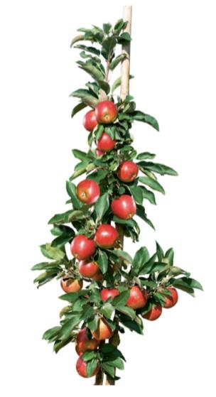 Säulenobstbaum_Apfel